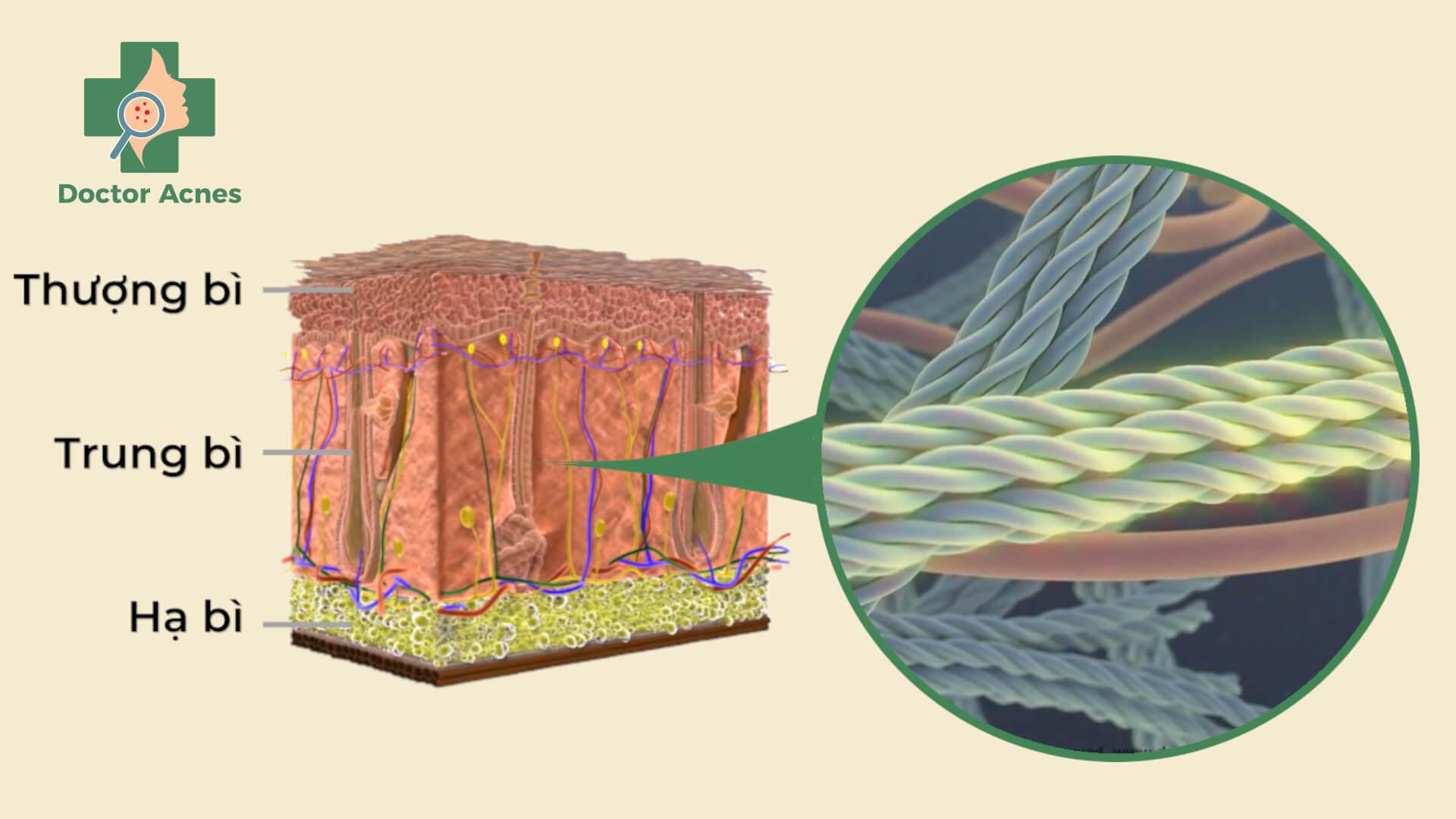 collagen và lớp trung bì da Doctor Acnes